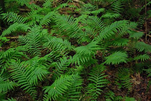 ferns by William J. Gibson, the Canuckshutterer