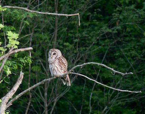 Barred Owl-19.jpg