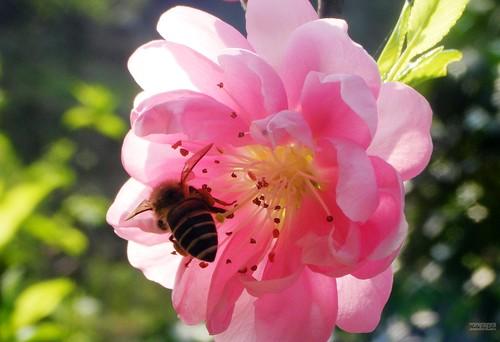 粉紅色杏花與小蜜蜂。