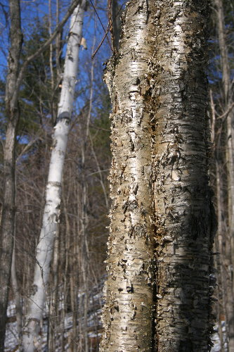 White Birch and Yellow Birch