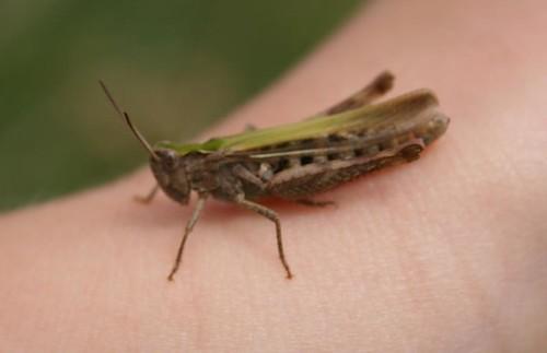 Grasshopper species, Tilton