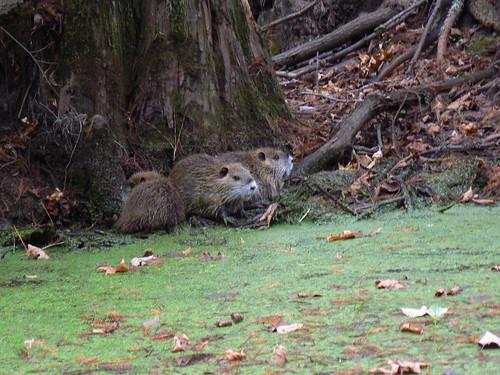 Merchant's Millpond - Baby Beavers (Close)