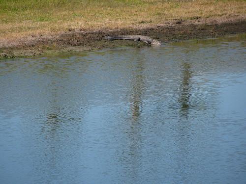 Alligator---big lizard