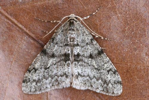 6660 - Phigalia strigataria - Small Phigalia