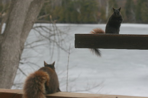 Rusty and Brownie the squirrels