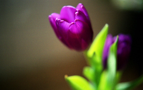 Many tulips
