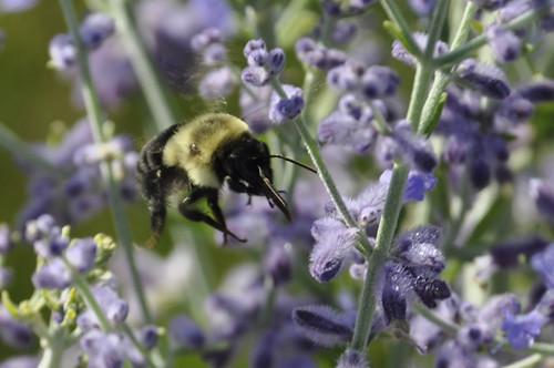 busy bee #1 (c) Lynne Medsker
