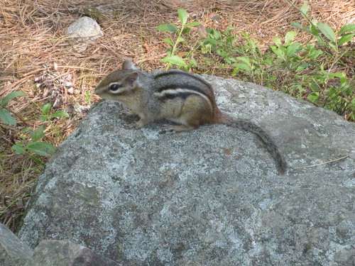Chipmunk on the Cranberry Bog Trail