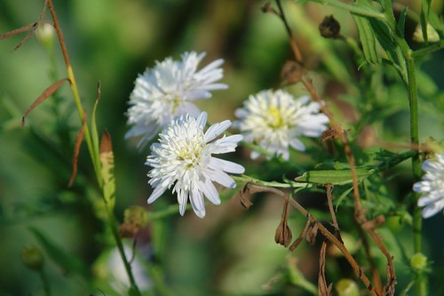 Little White Aster