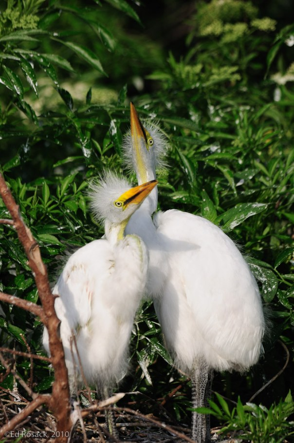 Pair of Great Egret chicks in nest