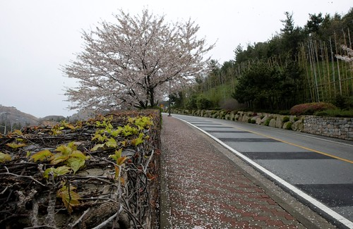The Cherry trees uphill