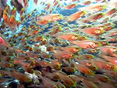 Fish, school of fish, lots of fish, many fish, plentiful fish, plenty of fish,