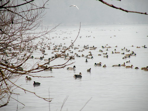 A large group of Eurasian Coots and Mallards