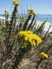 coastal goldenbush - isocoma menziesii by randomtruth, on Flickr