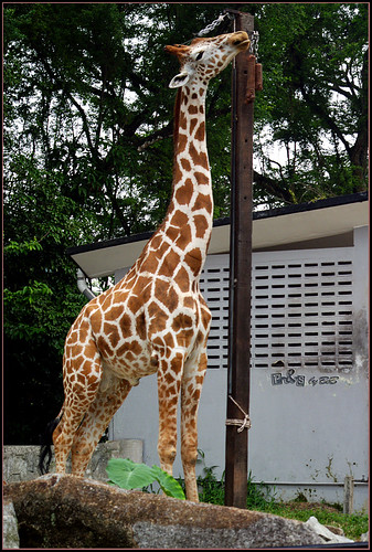 Giraffe - Tallest land animal
