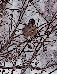 January Robins in Michigan