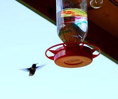 Hummingbird coming to feed at DCoy's porch