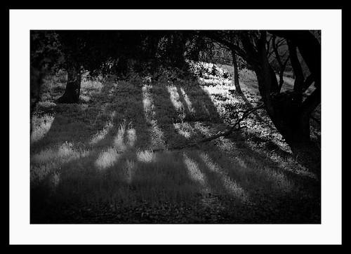Sharon Park Oaks - Black & White