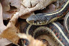 Garter snake: Flickr photo by jereandregan. Click for original.