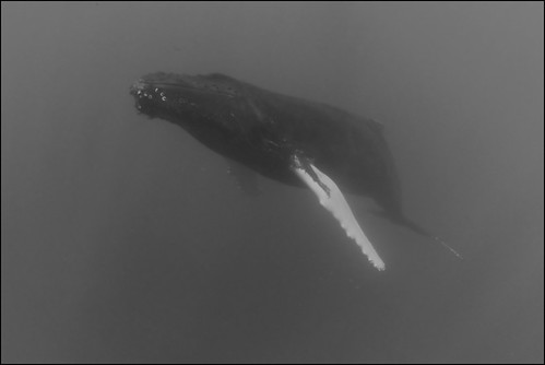 Humpback whale coming up for breath
