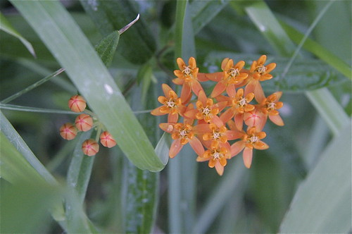 Butterfly milkweed (native) topview