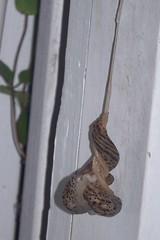 Slugs copulating 6