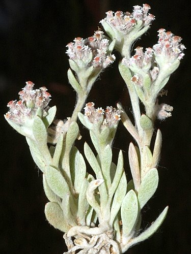 Vellereophyton dealbatum (White Cudweed)