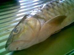 Kapit fish - semah 1