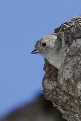 Oak Titmouse leaving the nesting hole