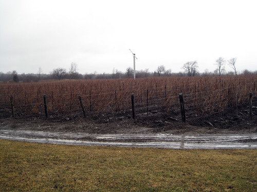 Norman Hardies vines back in the early spring (on our last visit to PEC)