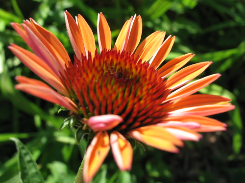 Coneflower, Minneapolis, Minnesota, July 2008, photo © 2008-2009 by QuoinMonkey. All rights reserved.