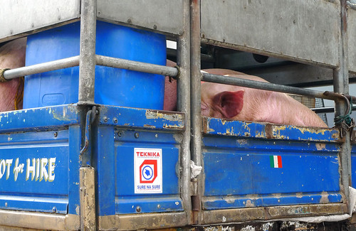 pigs on a truck