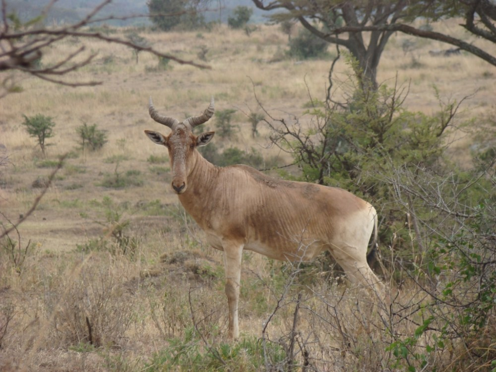 Antelopes of Nairobi National Park (3/4)