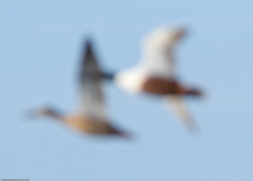 How not to photograph Northern Shovelers by you.