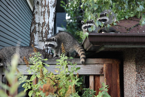 Raccoon Summer Party