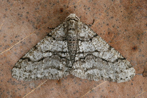 6658 - Phigalia titea - The Half-Wing