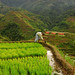 Ifugao Rice Terraces declared GMO-Free Zone