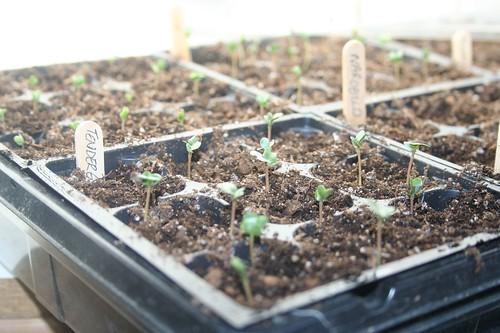 Broccoli seedlings, 2009