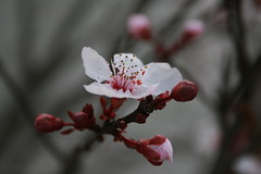 Plum Blossoms 2009