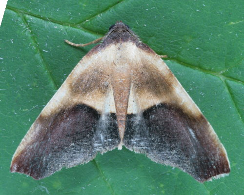 6841 - Plagodis kuetzingi - Purple Plagodis