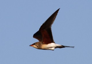 2011_06_15 PO - Collared Pratincole (Glareola pratincola) 02 by Mike at Sea
