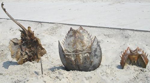 20090808 - Assateague Island camping - Camp Stingray markers - stingray, horseshoe crab - rear view - (by Nicole Z) - 3805614730_fb734f4b91_o