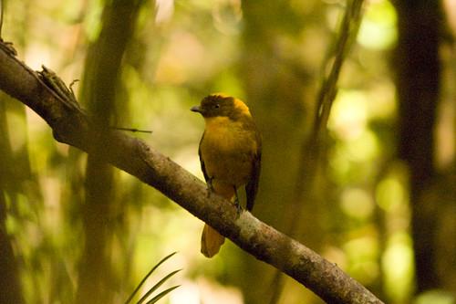 Golden Bowerbird (Prionodura newtoniana), paluma, FNQ.