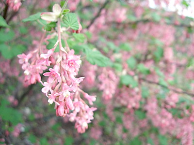Flowering Ribes or currant. This bush doesnt bear any berries, just the flowers, which hang in lovely grapelike bunches. Its one of the markers of spring, for me, it grows on the path where i walk jess regularly. When i see it flower, i know the cherry blossom isnt far off!