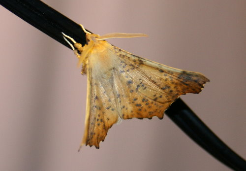 6797 - Ennomos magnaria - Maple Spanworm