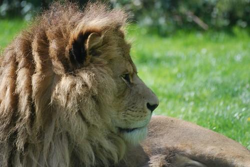 Löwe im Zoo Parc de Beauval