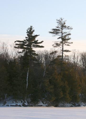 White Pine pair