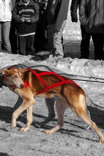 Red Alaskan