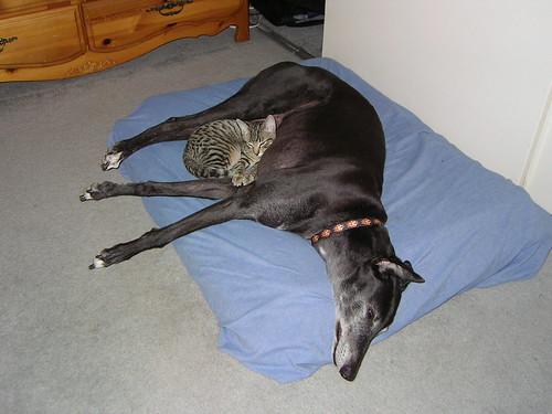 greyhound and cat