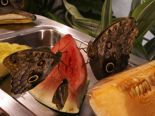 Butterflies feeding on watermelon - check out that proboscis!